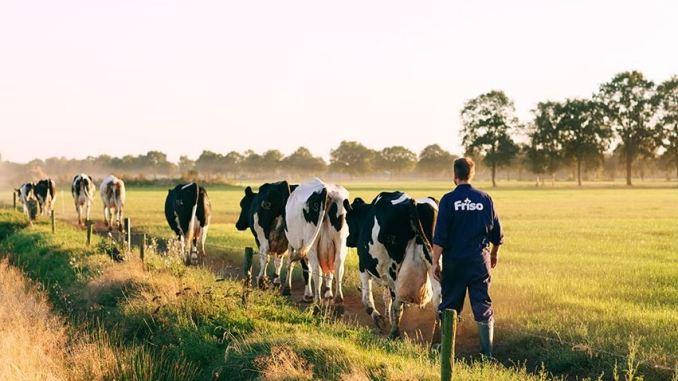 trang trại sản xuất sữa Friso