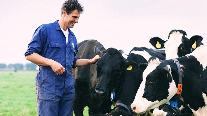 bò sữa được chăm sóc kỹ càng