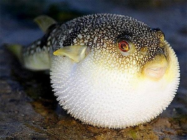 Cá nóc có chứa độc tố rất nguy hiểm cho bà bầu