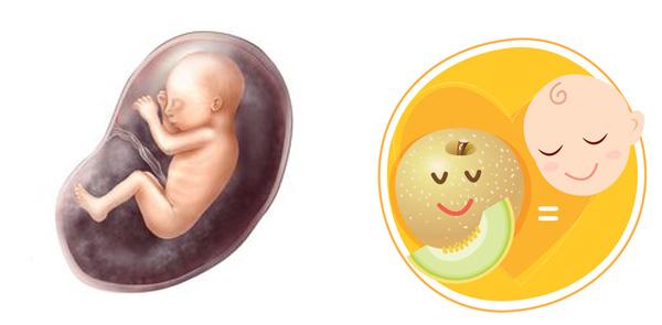 Sự phát triển của thai nhi 24 tuần tuổi